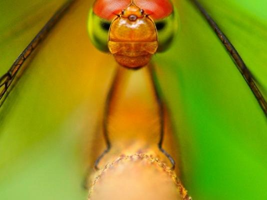 Pictorialdragonfly